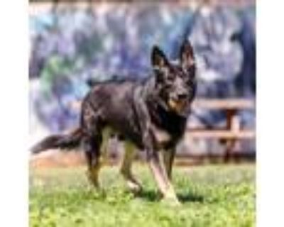 Adopt Yuri a Black - with Tan, Yellow or Fawn German Shepherd Dog / Siberian