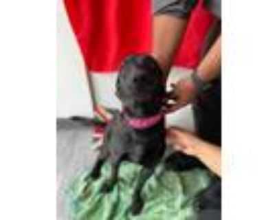 Adopt Biscuit a Labrador Retriever, Mixed Breed