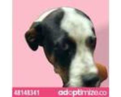 Adopt 48148341 a White Labrador Retriever / Mixed dog in El Paso, TX (32017982)