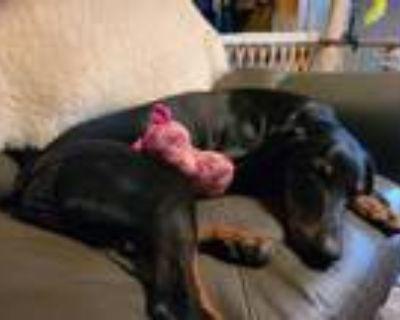 Adopt Lulu a Doberman Pinscher