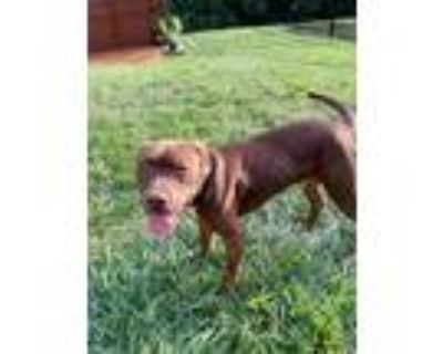Adopt Jack E Chan a American Pit Bull Terrier / Mixed dog in Germantown
