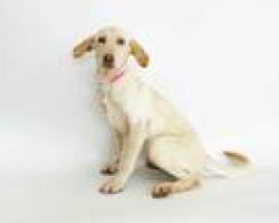 Adopt DOVE a Tan/Yellow/Fawn Labrador Retriever / Mixed dog in St.