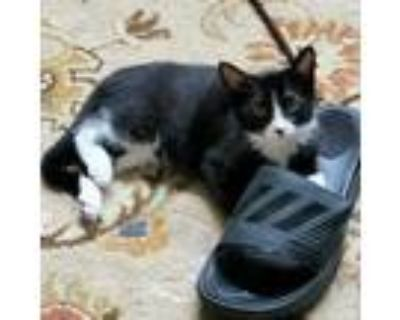 Adopt Squirt a All Black Domestic Shorthair / Domestic Shorthair / Mixed cat in