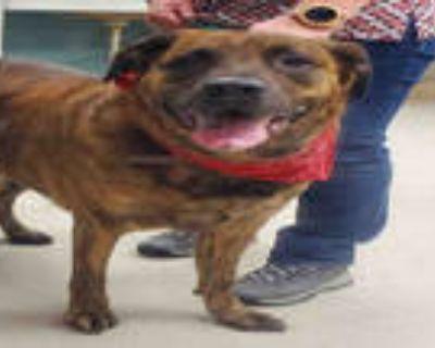 Adopt ORYA a Brindle German Shepherd Dog / Mixed dog in Rockford, IL (30348605)