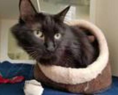 Adopt TIGGER a All Black Domestic Shorthair / Mixed (short coat) cat in
