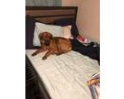 Adopt Koko a Red/Golden/Orange/Chestnut - with Black Labrador Retriever /