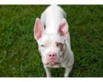 Adopt Party Princess a Pit Bull Terrier