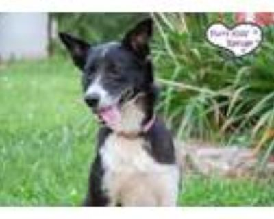 Adopt Laney a Border Collie / Mixed dog in Lee's Summit, MO (32130343)