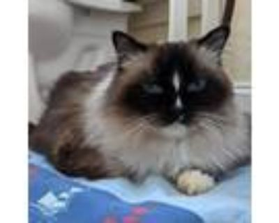 Adopt Adeline a White (Mostly) Ragdoll / Mixed cat in Fairfax Station