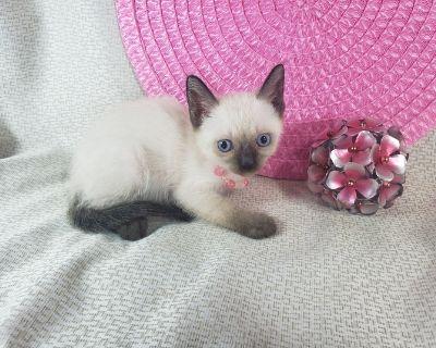 Siamese Kittens Ready NOW