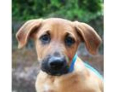 Adopt Zeus a Brown/Chocolate Retriever (Unknown Type) / Mixed Breed (Large) /