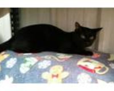 Adopt Nicole a All Black Domestic Shorthair / Mixed (short coat) cat in