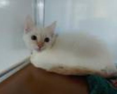 Adopt GAMEBOY a White (Mostly) Siamese / Mixed (short coat) cat in San