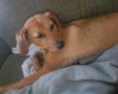 Adopt lucy a Brown/Chocolate Beagle / Dachshund / Mixed dog in Independence