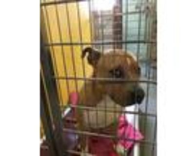 Adopt BOB MARLEY a Tan/Yellow/Fawn - with White American Pit Bull Terrier /