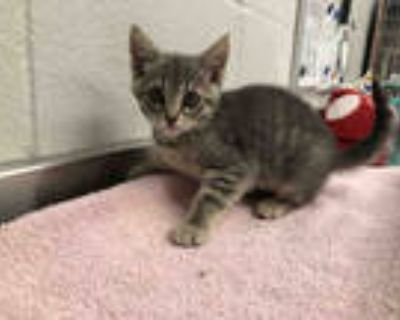 Adopt NANNY a Gray, Blue or Silver Tabby Domestic Shorthair / Mixed (short coat)