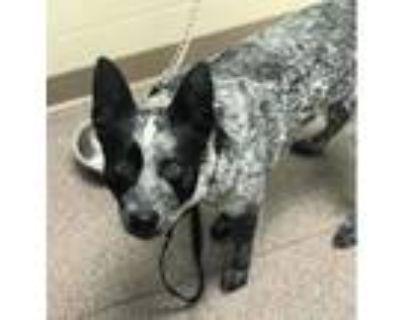 Adopt Beau Jo a Australian Cattle Dog / Blue Heeler