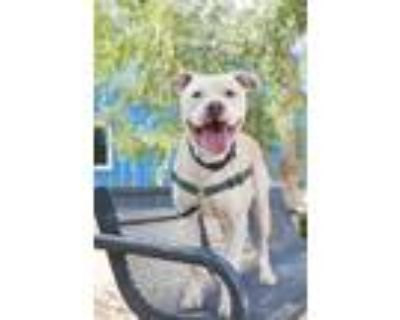 Adopt Kayo a Pit Bull Terrier