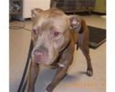 Adopt LANA a Tan/Yellow/Fawn - with White American Pit Bull Terrier / Mixed dog