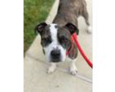 Adopt CHULA a Brindle - with White American Pit Bull Terrier / Mixed dog in
