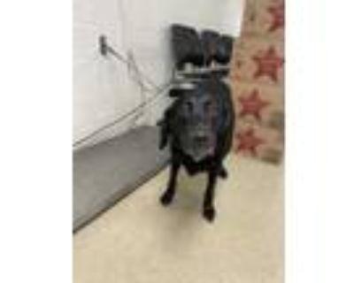 Adopt 48303161 a Black Labrador Retriever / Mixed dog in Fort Worth