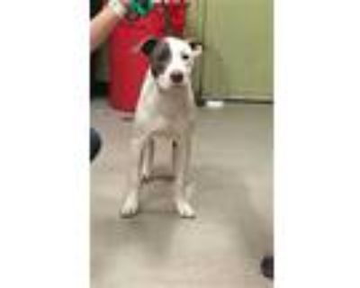 Adopt BISHOP a White - with Gray or Silver American Pit Bull Terrier / Mixed dog