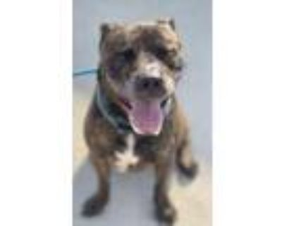 Adopt Chico a Brindle American Pit Bull Terrier / Mixed dog in New Port Richey