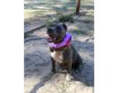 Adopt Jada a American Staffordshire Terrier, Staffordshire Bull Terrier