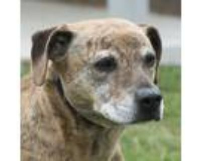 Adopt Survivor a Brindle Pit Bull Terrier / Mixed dog in Troy, OH (30863772)