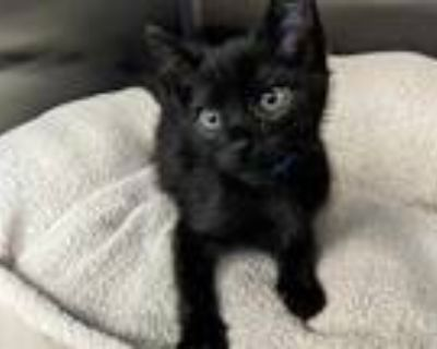 Adopt ASHER a All Black Domestic Shorthair / Mixed (short coat) cat in Fremont
