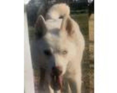 Adopt Remy a White Husky / Husky / Mixed dog in Turlock, CA (31670553)