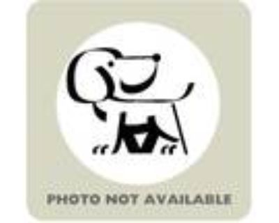 Adopt 47590222 a Black Blue Heeler / Mixed dog in El Paso, TX (31611193)