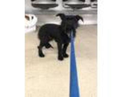 Adopt Gabriel a Black Terrier (Unknown Type, Small) / Schnauzer (Standard) /