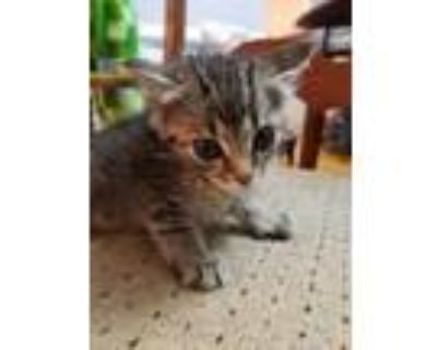 Adopt RED a Brown Tabby Domestic Shorthair / Mixed (short coat) cat in
