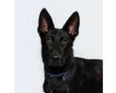 Adopt Parmigiano a Shepherd (Unknown Type) / Mixed dog in San Luis Obispo