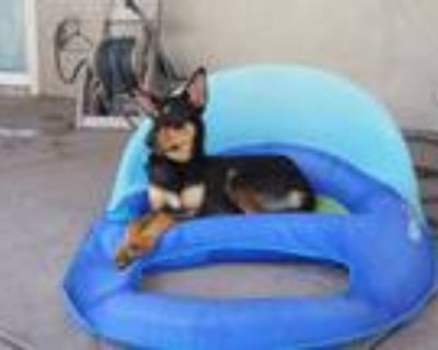 Adopt Indie - Foster Needed! a Black - with Tan, Yellow or Fawn Doberman