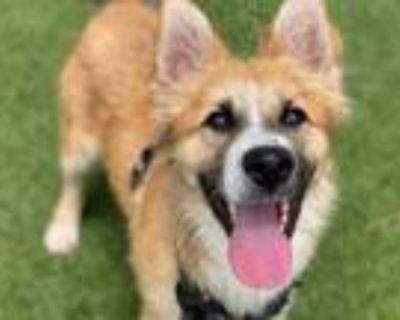 Adopt MARVIN a Australian Cattle Dog / Blue Heeler, Siberian Husky