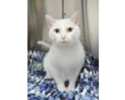 Adopt Layla a White Domestic Mediumhair / Domestic Shorthair / Mixed cat in