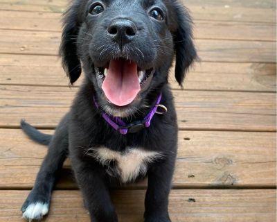 Noelle 11154 - Mixed Breed (Medium) - Puppy Female
