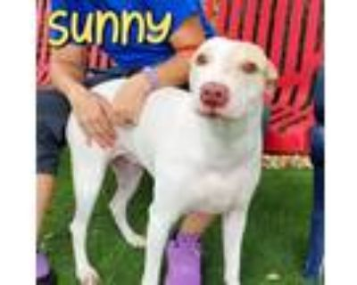 Adopt SUNNY a White - with Tan, Yellow or Fawn Labrador Retriever / American Pit