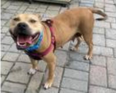 Adopt Blossom Bee a American Pit Bull Terrier / Mixed dog in Germantown