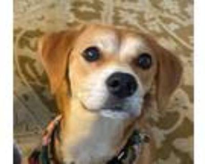Adopt Olive a Beagle / Shiba Inu / Mixed dog in San Ramon, CA (32028481)