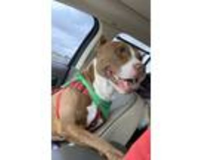 Adopt Zeus a Brown/Chocolate - with White American Pit Bull Terrier / Mixed dog
