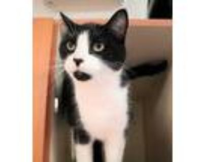Adopt Cashew a All Black Domestic Shorthair / Domestic Shorthair / Mixed cat in
