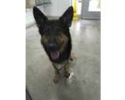 Adopt Freemont a Black German Shepherd Dog / Mixed dog in Fort Worth