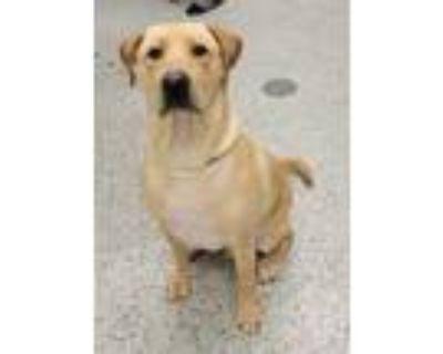 Adopt Benson a Tan/Yellow/Fawn Labrador Retriever / Mixed dog in Kansas City