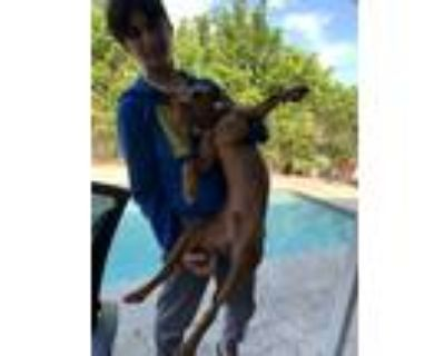 Adopt Jackson a Brown/Chocolate - with White American Pit Bull Terrier / Spitz