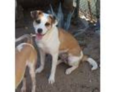 Penny, Jack Russell Terrier For Adoption In Apple Valley, California