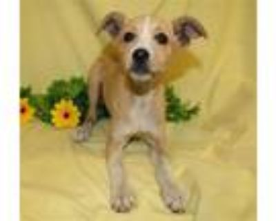 Adopt DONNA a Rat Terrier, Mixed Breed