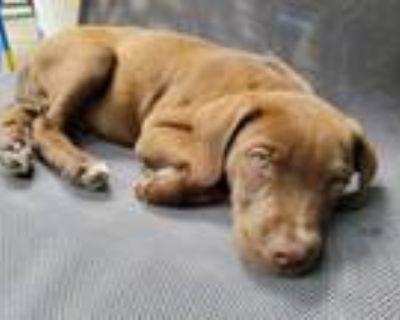 Adopt Lester a Labrador Retriever, Pointer